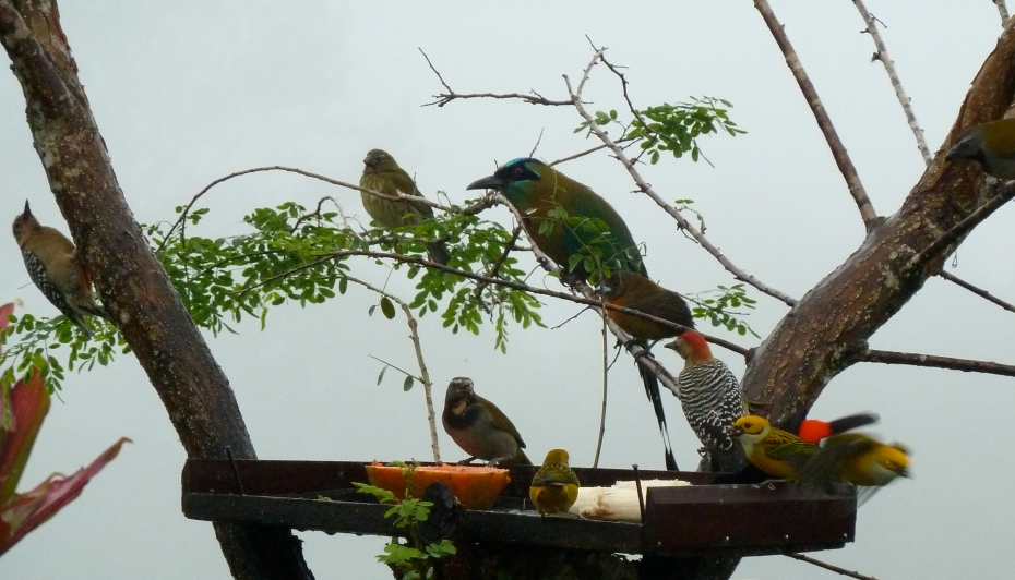 birds-of-southern-costa-rica