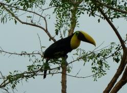 black-mandibled-toucan