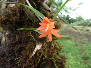 peach-orchids