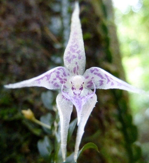 white-purple-orchid